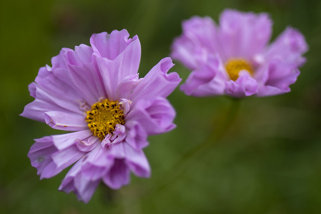 Curly petalled pink and gold Cosmos flowers, Drum Castle, near Drumoak in Aberdeenshire, Scotland.