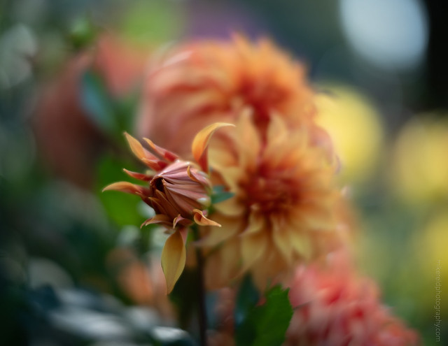 Dahlia Bloom to Be