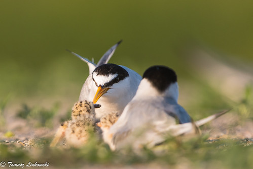 Little tern (Sternula albifrons) rybitwa białoczelna - feeding