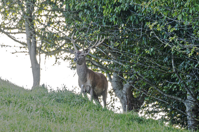 Unexpected Red Deer Stag