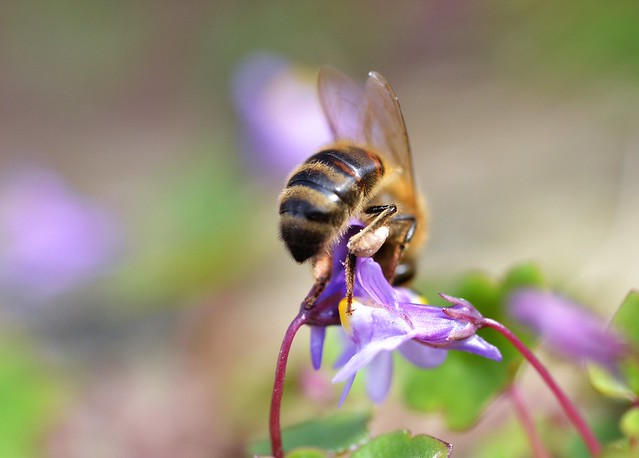 honey bee on ivy leaved toadflax flower