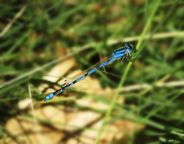 Common Bluet (Male) 3131