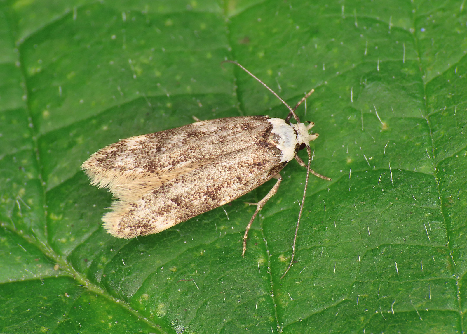 28.009 White-shouldered House-moth - Endrosis sarcitrella