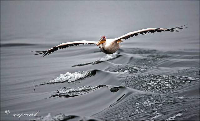 Great White Pelican (Pelecanus onocrotalus).
