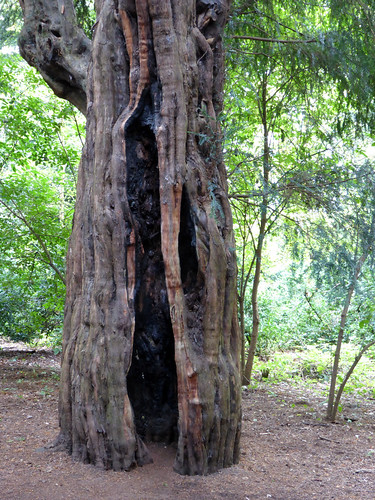 Ancient Trunk