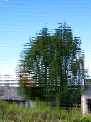 Reflected Pine Trees