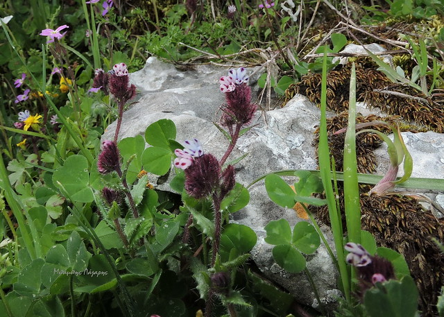 4_Anchusella variegata
