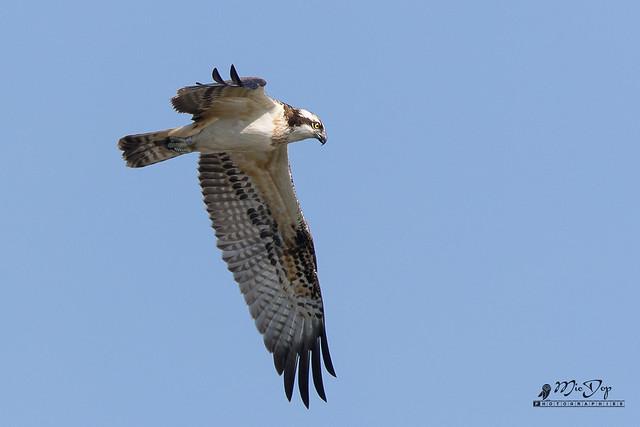 Balbuzard pêcheur - Western Osprey