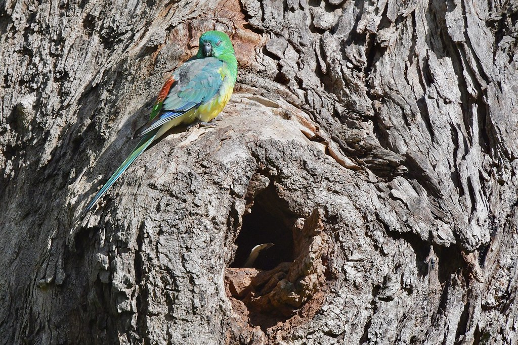Red- rumped Parrot ( male enjoying a rest in the sun )