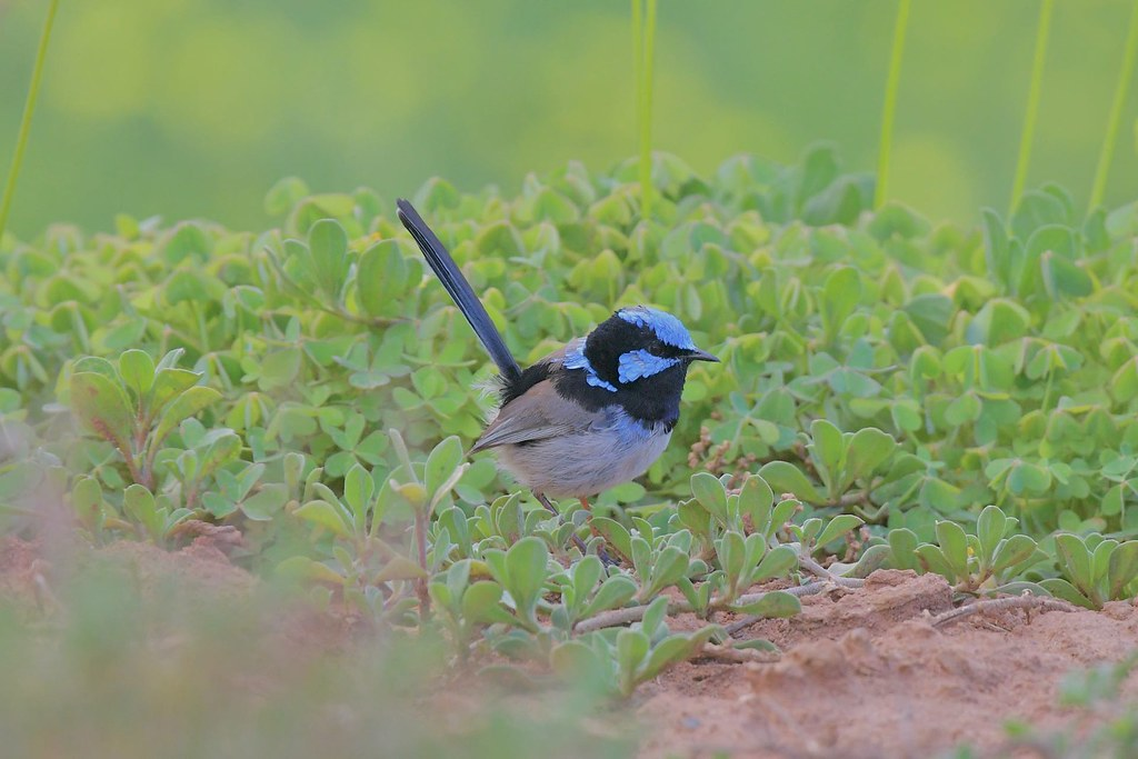 Superb Fairy - wren ( Male )