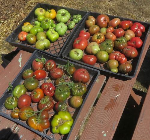 5 tomatoes1