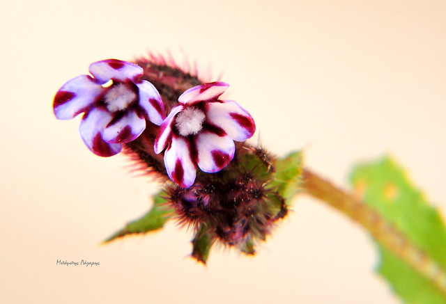 1_Anchusella variegata