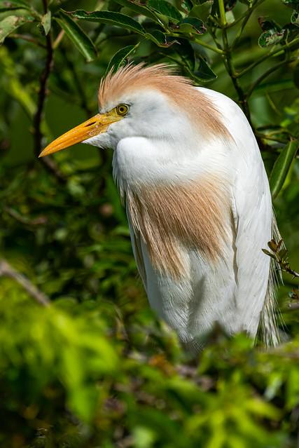 Cattle Egret - Bubulcus ibis   2019 - 4