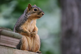 97/366/4114 (September 16, 2019) - Fox Squirrels in Ann Arbor at the University of Michigan - September 16th, 2019
