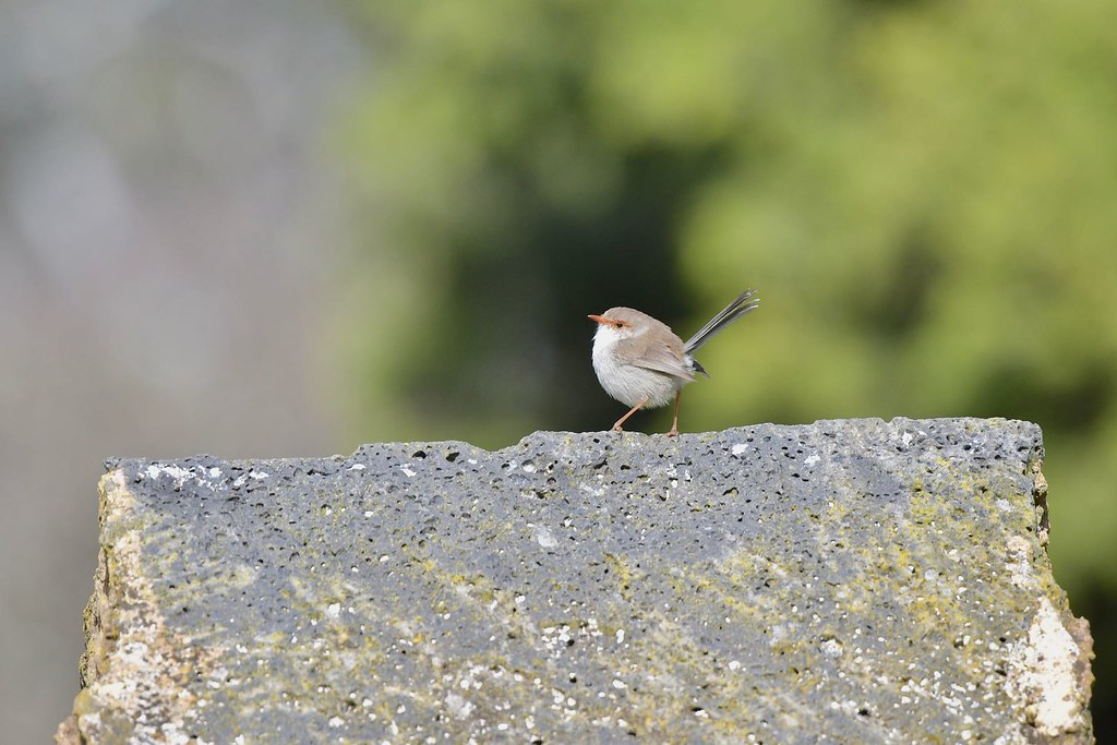 Superb Fairy - wren ( big rock for little legs )