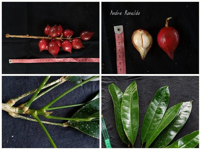 Baccaurea angulata Merr. var. globulus Gunawan - (Phyllanthaceae)