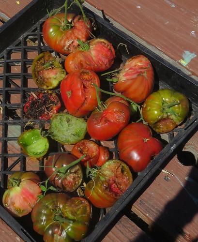 6 tomatoes2