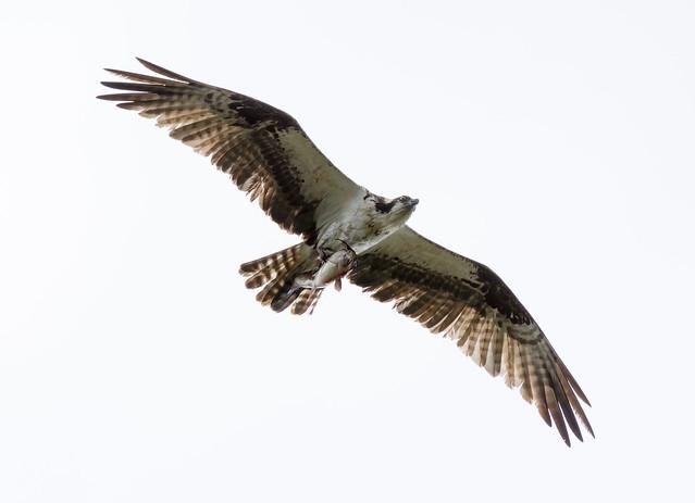 Osprey (Balbuzard)