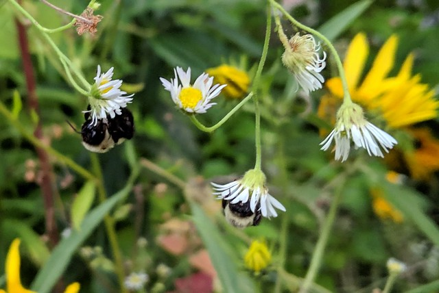 two big bumblebees hanging onto small fleabane flowers that are pointing straight down under their weight