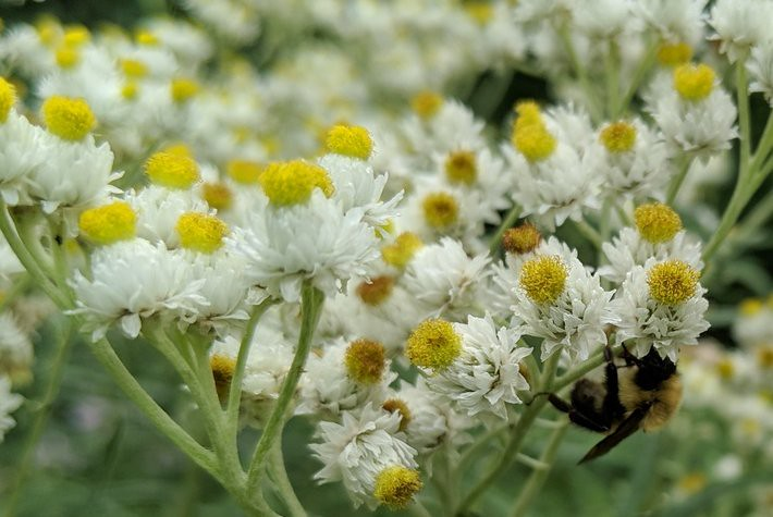 bumblebee hanging under the right side of a cluster of dozens of pearly everlasting flowers