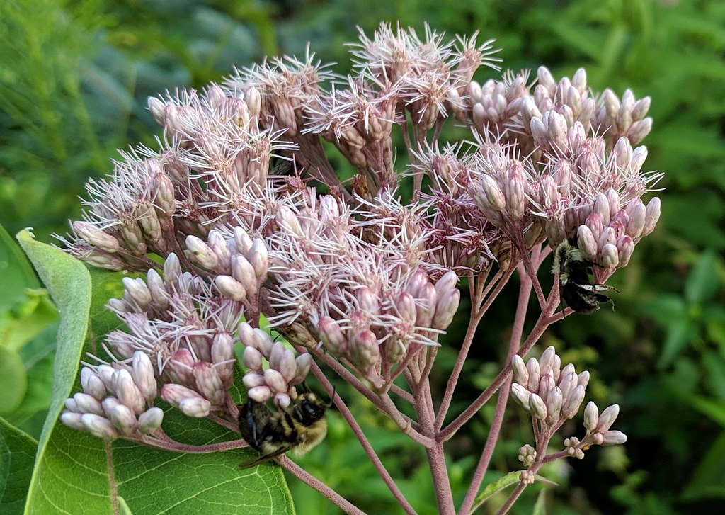 two bumblebees on a joe-pye weed cluster, one underneath on the left and one upright on the right