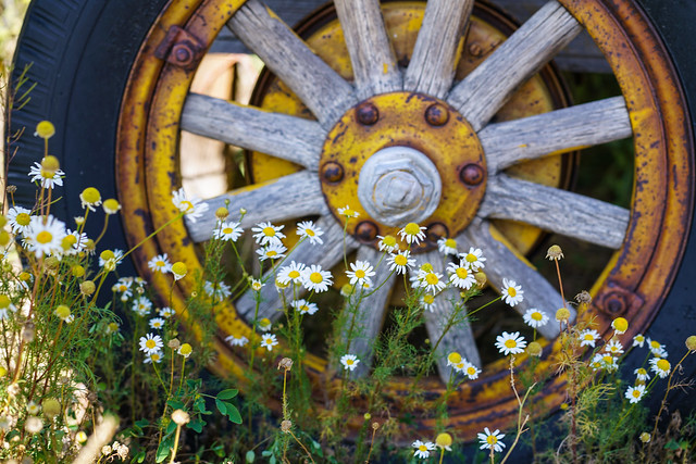 Four weeks till the first snow Daisies