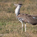 A Kori Bustard With Large Seed In Its Beak While On The Ndutu Plains