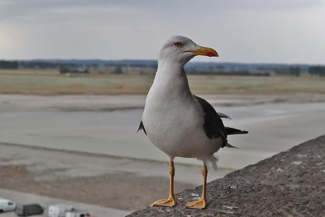 Gull - Möwe