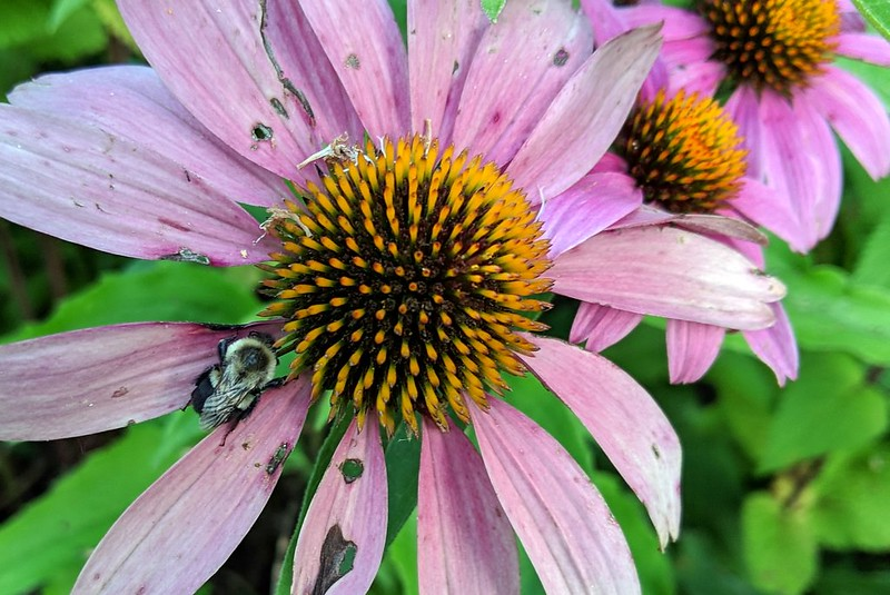 bumblebee perched between two petals of a purple coneflower