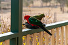 King Parrots having a feed