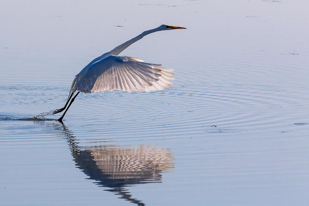 Egret, taking off