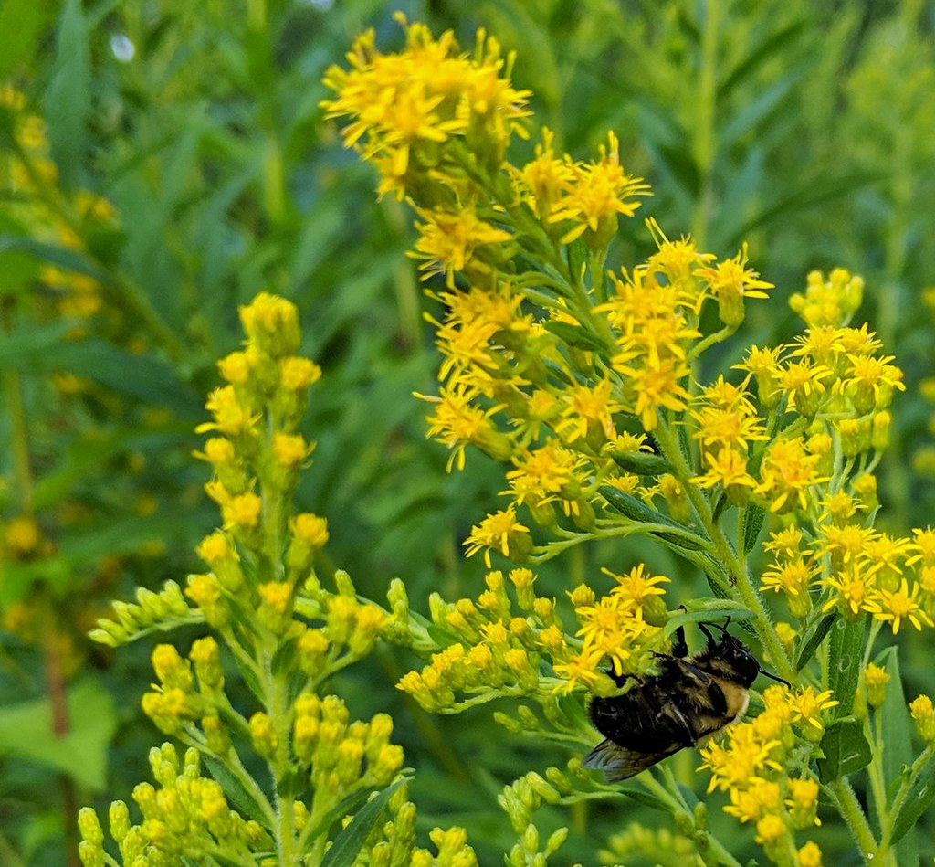 big bumblebee underneath a goldenrod