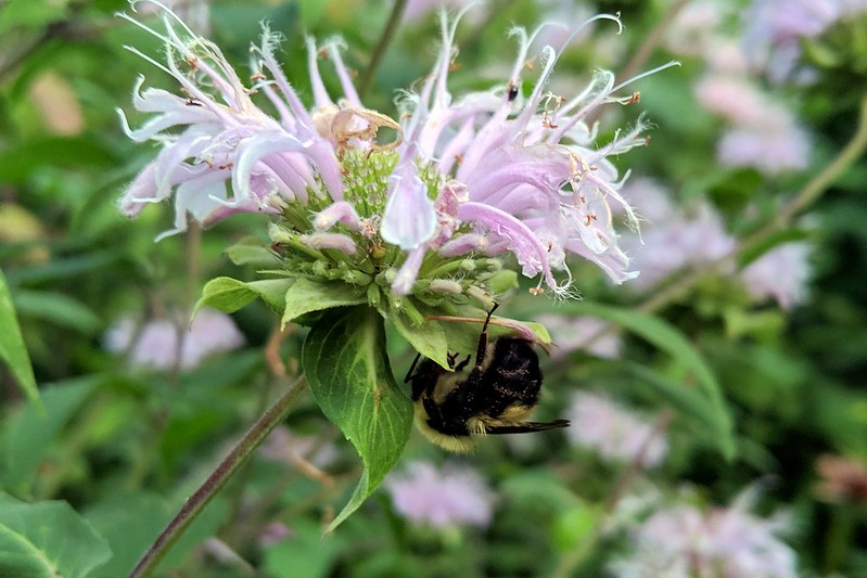 bumblebee hanging under a monarda blossom, with its head tucked into the leaf