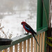 Crimson Rosella at Majors Creek