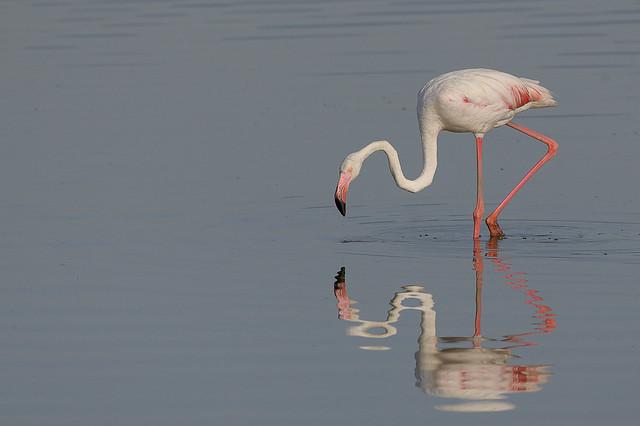 Flamenc - Flamant rose - Phoenicopterus roseus - Greater flamingo