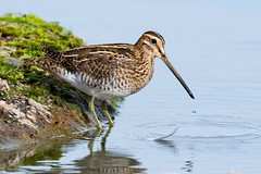 Common Snipe Sept 2019