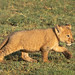 A Young Lion Cub Strides Out With Its Oversized Paw