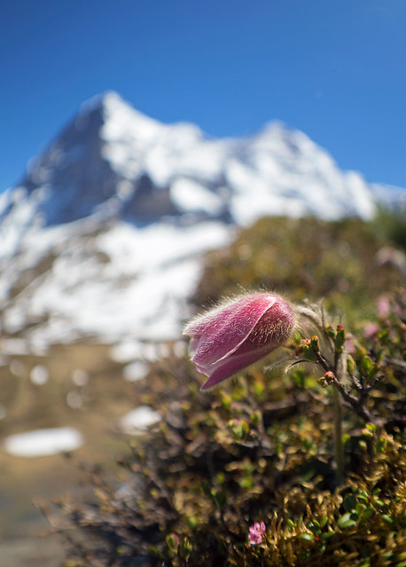 Alpine pasque flower