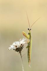 IMG_5359 - Mante religieuse, mâle