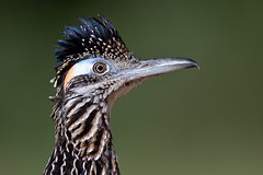 Greater Roadrunner (Geococcyx californianus), Laguna Seca Ranch, Texas