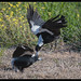 Australian Magpie: Attack Practice