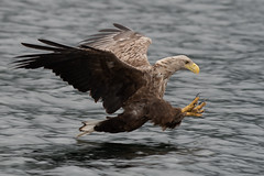 White-tailed Eagle-17