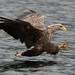 White-tailed Eagle-17
