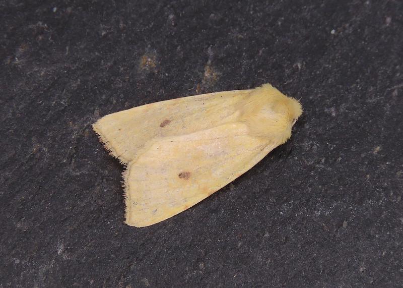 73.182 Sallow - Cirrhia icteritia