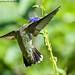 Ruby Throated Hummingbird (20190915-DSC00458)