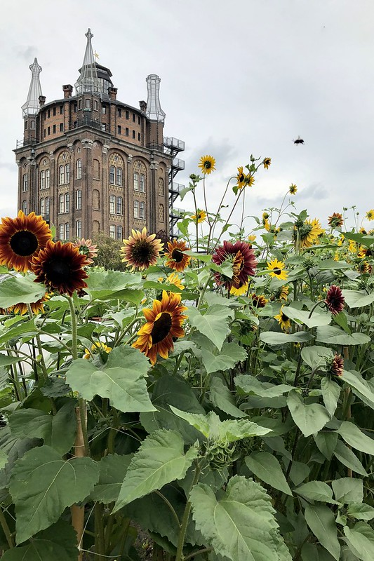 villa augustus sunflowers