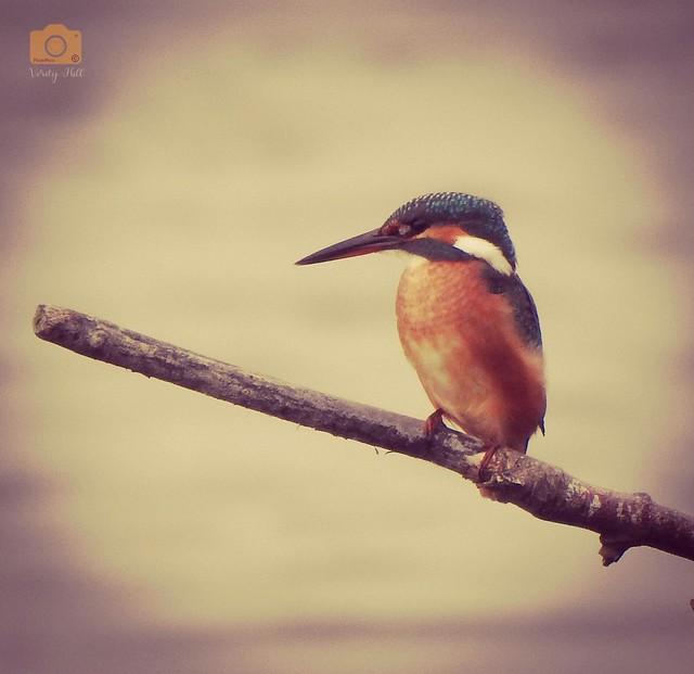 Beautiful juvenile female kingfisher 😍 photographed yesteday at my local RSPB (WEYMOUTH)