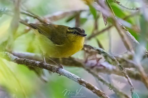Mountain Leaf Warbler (Phylloscopus trivirgatus) 山柳鶯