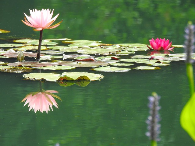 Water Lilies at Gibbs Gardens