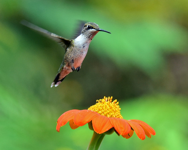 810_7745. Ruby-throated Hummingbird